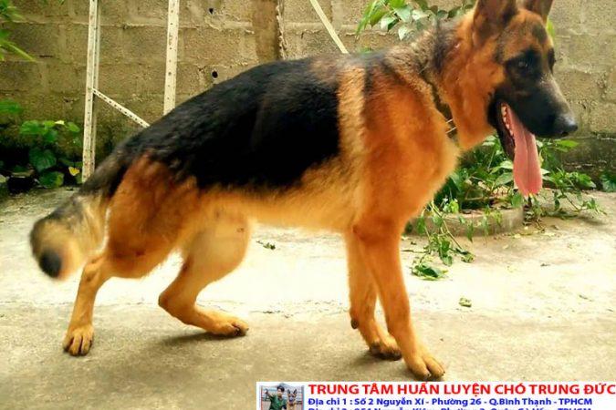 Chó Becgie | Bán chó Becgie thuần chủng tại Tphcm, Bình Dương