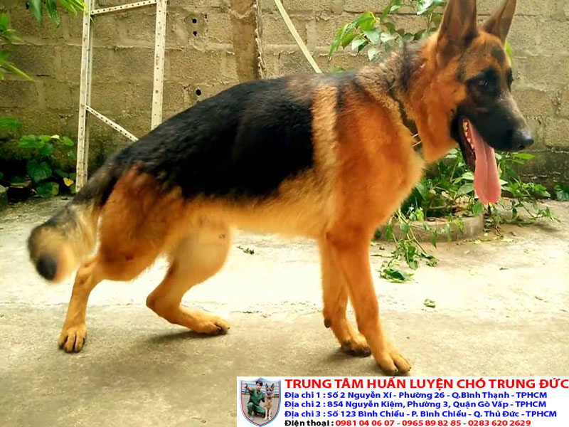 Chó Becgie   Bán chó Becgie thuần chủng tại Tphcm, Bình Dương