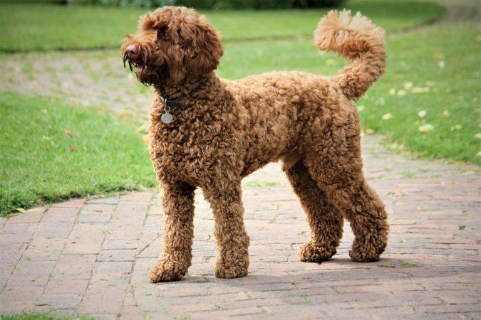 Cách chọn giống chó Poodle sao cho đúng chuẩn